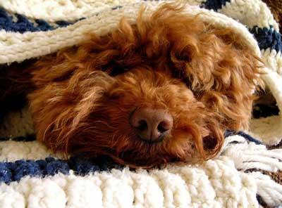 Dog blankets can keep your Cocker Spaniel warm at night - just like mine!