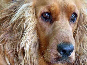 Head-shot of a golden Cocker Spaniel with watery eyes