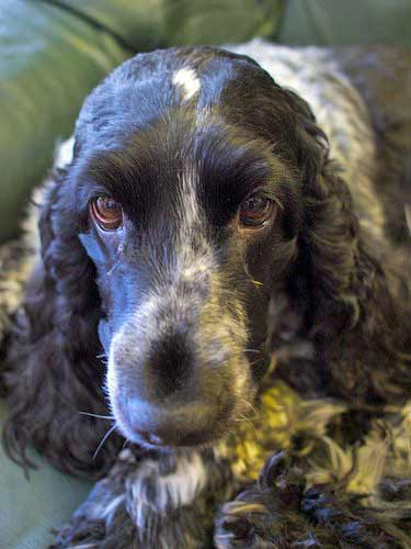 Canine bloat can be fatal - if you see signs of it, get your Cocker Spainel to his vet quickly.