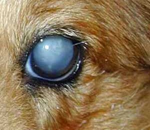 Dog cataracts show as a cloudy or milky disc in the eye