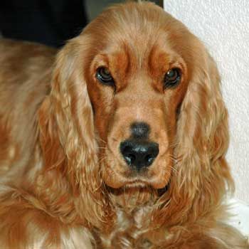 Golden cocker spaniel, handsome boy without cataracts