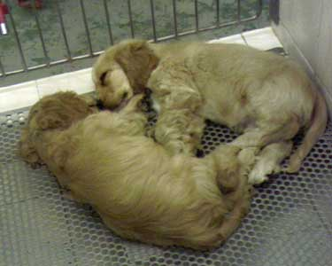 Two lovely golden cocker spaniel puppies, sleeping in their dog crate