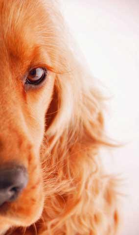 Dog Eye Problems in Cocker Spaniels