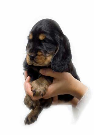 Black and tan cocker spaniel puppy being held in hands of vet. White background.