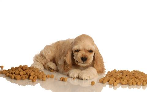 Golden cocker spaniel puppy eating kibble, growling, showing signs of food aggression