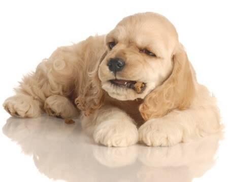 Light golden cocker spaniel puppy eating kibble