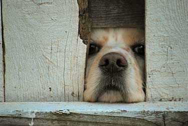 Cute cocker spaniel peeking through a fence