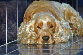 Max, my cocker spaniel lying wait in the bathroom