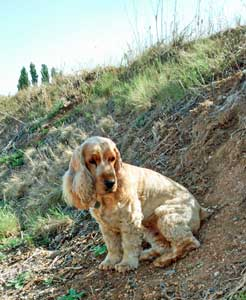 Golden cocker spaniel sitting on verge of vineyards.