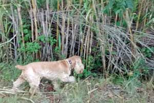My golden cocker spaniel (Max) hunting in the undergrowth.