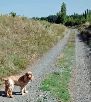Cocker spaniel on a dirt track in French vineyards
