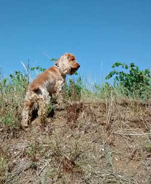 Cocker spaniel, scrubland, bankside and blue skies. Heaven!