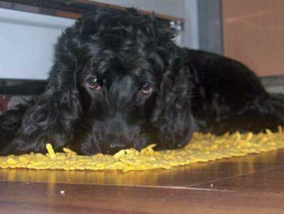 Black cocker spaniel lying on a yellow rug, looking directly at the camera.