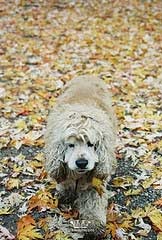 Buff cocker spaniel walking in leaves