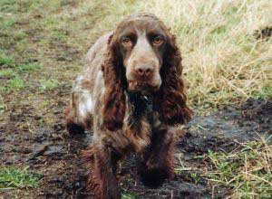 Chocolate cocker spaniel - take care he doesn't pick up dog poisons while he's outdoors