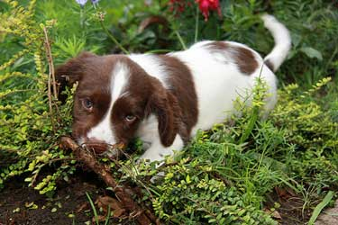 Brown and white cocker spaniel puppy enjoying a run about in the undergrowth