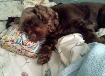Cocker Spaniel Sleeping On The Bed
