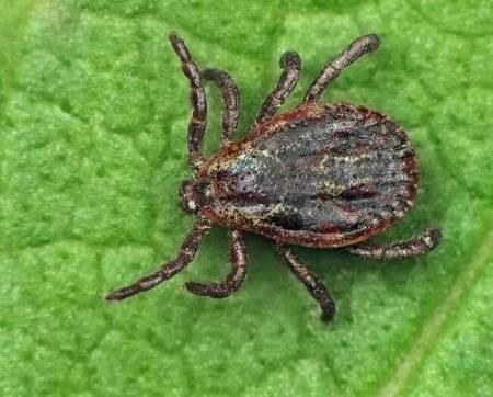 Picture of a tick before it's fed on your dog's blood