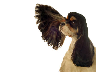 Dog ear infections are all too common in cocker spaniel ears - they need a little extra TLC!