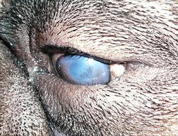 Close up of a condition known as entropion in dogs eyes