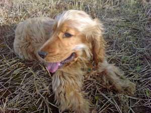Cocker spaniel resting after running around in cornfields!