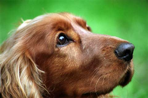 Headshot of a golden Cocker Spaniel looking intensely at his master.