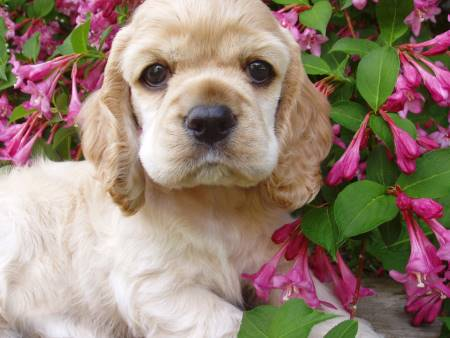 Golden cocker spaniel puppy surrounded by pink flowers