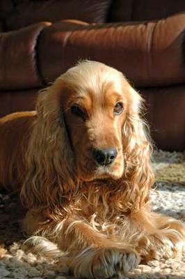 Max - Golden Cocker Spaniel (Site Owner's Dog)