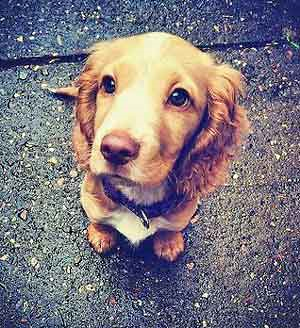 Cute golden cocker spaniel puppy sitting on the pavement, looking up at the camera