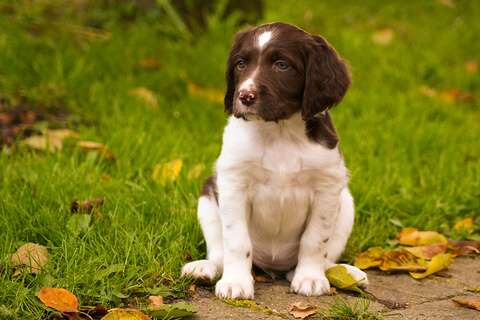 Chocolate and white cocker spaniel puppy - Cocker's make good family dogs!