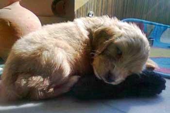 Golden cocker spaniel puppy bought from a puppy farm.