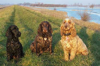 Just look at what healthy dog food can do for your cocker spaniel's coat!