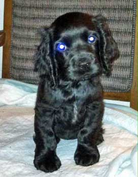 Cute black cocker spaniel puppy looking into the camera lens.