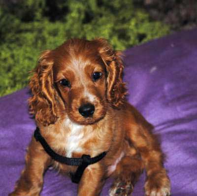 You Can Help A Cocker Spaniel Puppy With Separation Anxiety
