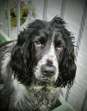 Blue roan cocker spaniel with soulful eyes