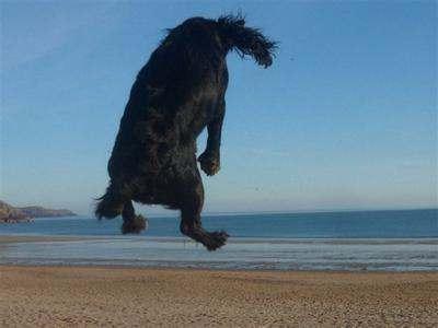 Black cocker spaniel jumping in the air on the beach