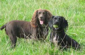 Working cocker spaniels playing ball in the open air