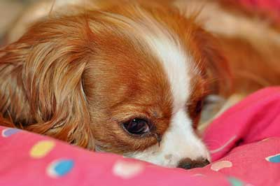 Cute golden and white spaniel lying quietly on a colorful blanket