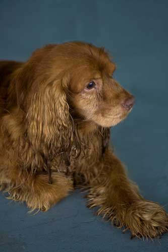 Such a beatifully colored cocker spaniel, he's almost ginger!