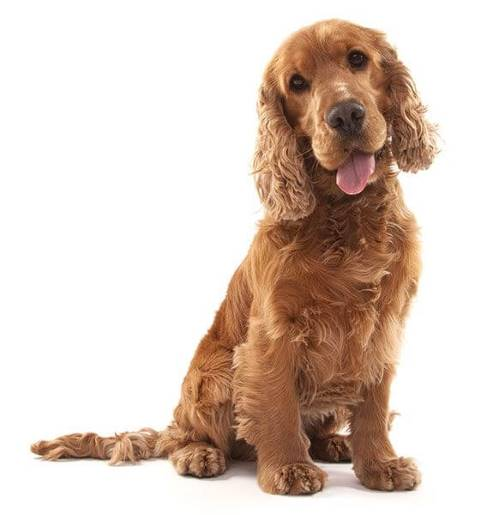 Gorgeous golden cocker spaniel puppy being trained to sit. Read on to learn how to train a puppy.