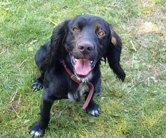 Just look at how healthy and alert this working cocker spaniel is - this is what a healthy diet can do for your pet