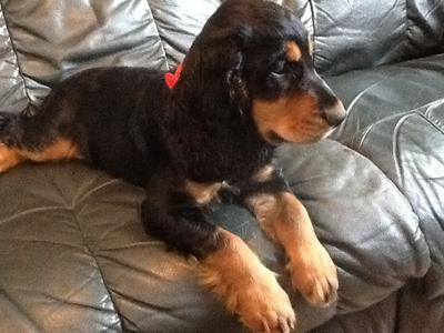 Black and tan cocker spaniel puppy sitting on a grey leather sofa