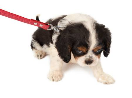 Cocker spaniel puppy being leash trained, reluctantly