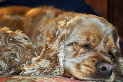 Golden cocker spaniel with eyes closed. Sleeping dogs should be left alone