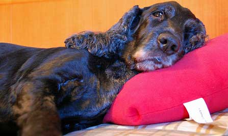 Black cocker spaniel lying on bed with deep pink pillow