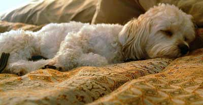 Sleeping puppy, lying on his master's bed