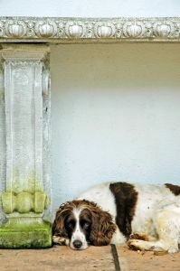 Liver and white cocker spaniel lying down next to a white pillar.