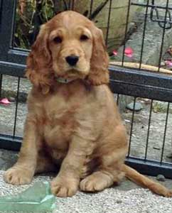 Mabel, a beautiful golden cocker spaniel puppy sitting outside of her crate