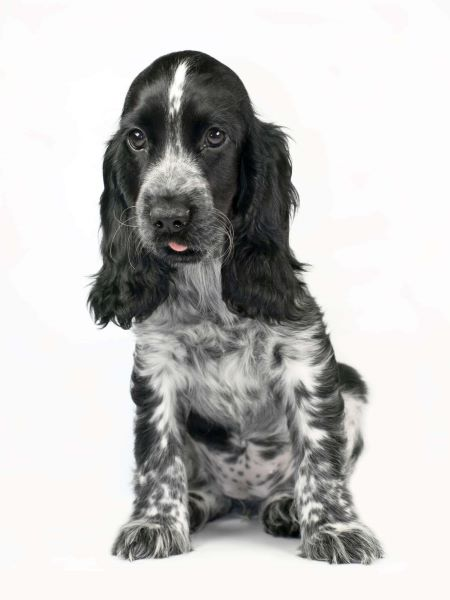 Blue roan cocker spaniel puppy with his tongue out - cute!
