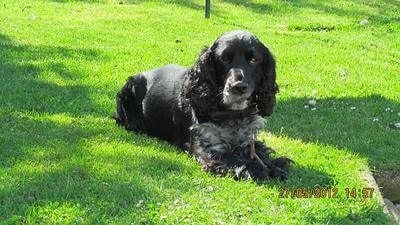 Dougal, cocker spaniel lying quietly on the grass.